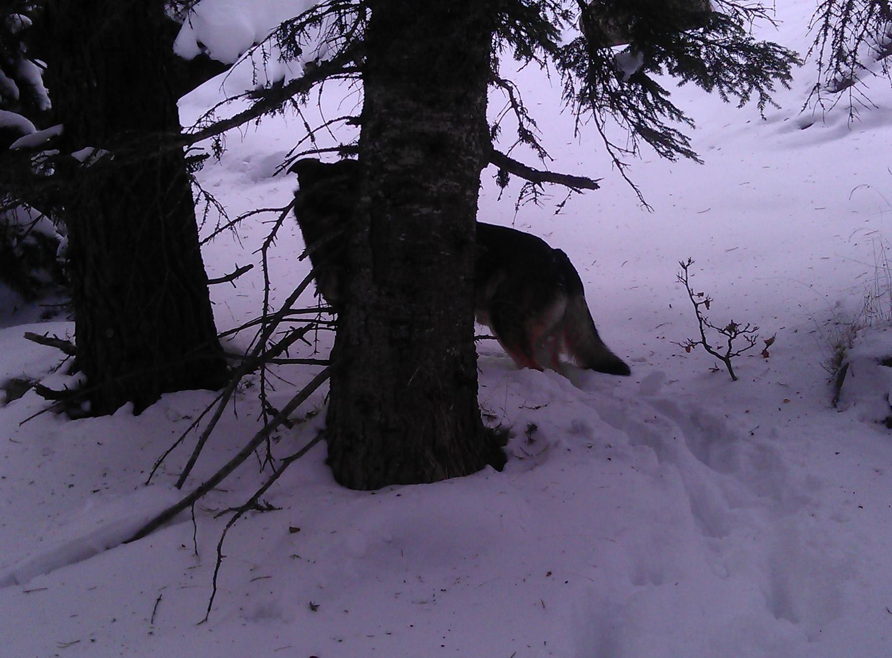Un loup dans le massif du madres, Pyrénées orientales